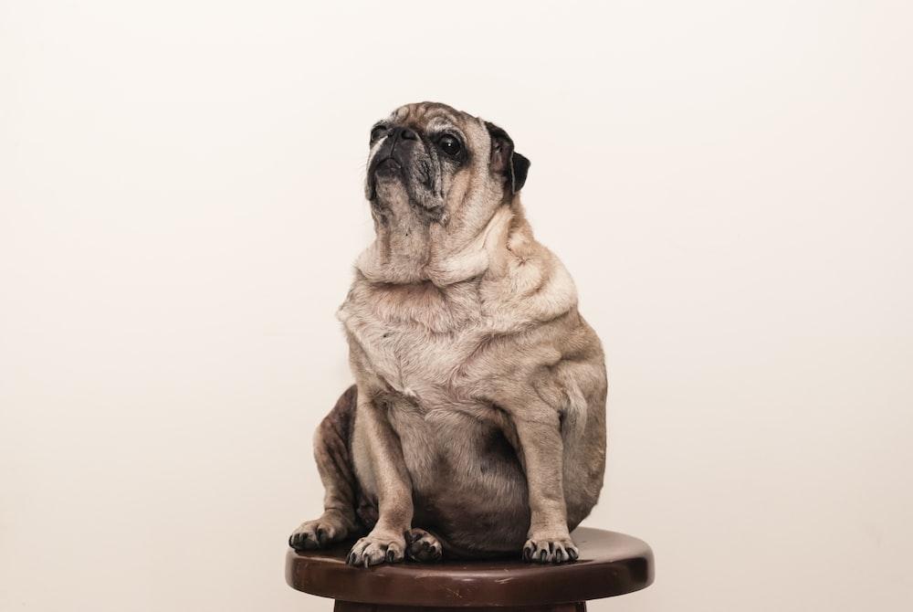 tan pug on brown wooden stool