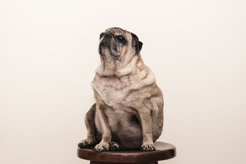 tan pug on brown wooden stool
