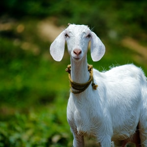selective focus photography of white goat
