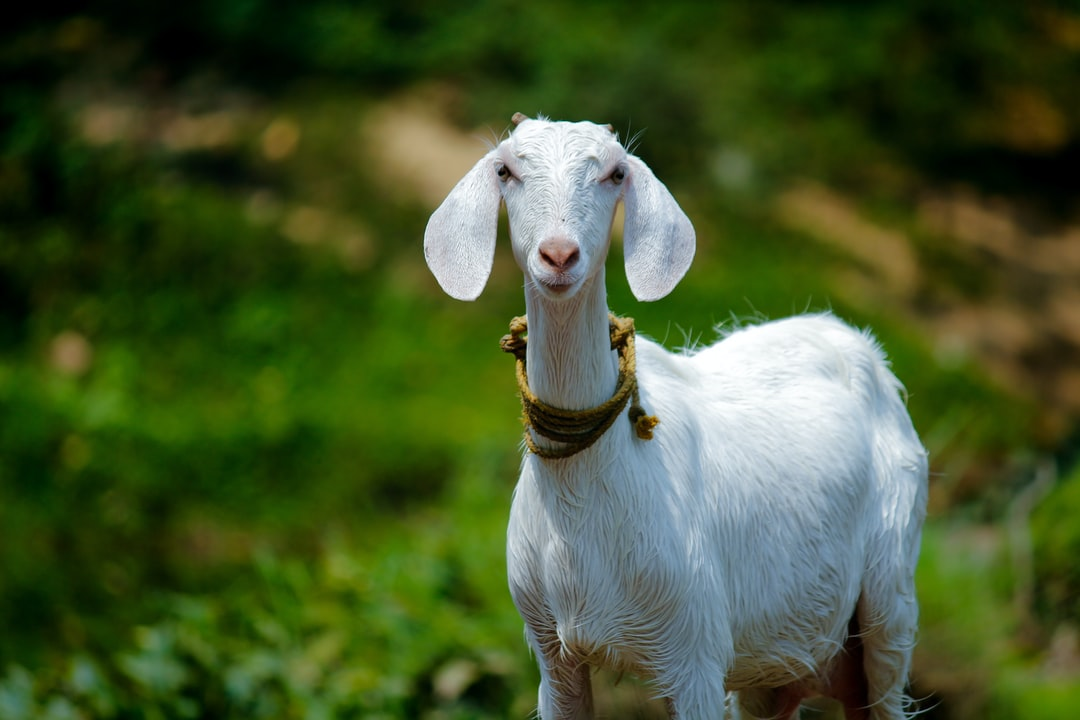 Goat kefir can be consumed by people who are sensitive to cow's milk by Nandhu Kumar for Unsplash.