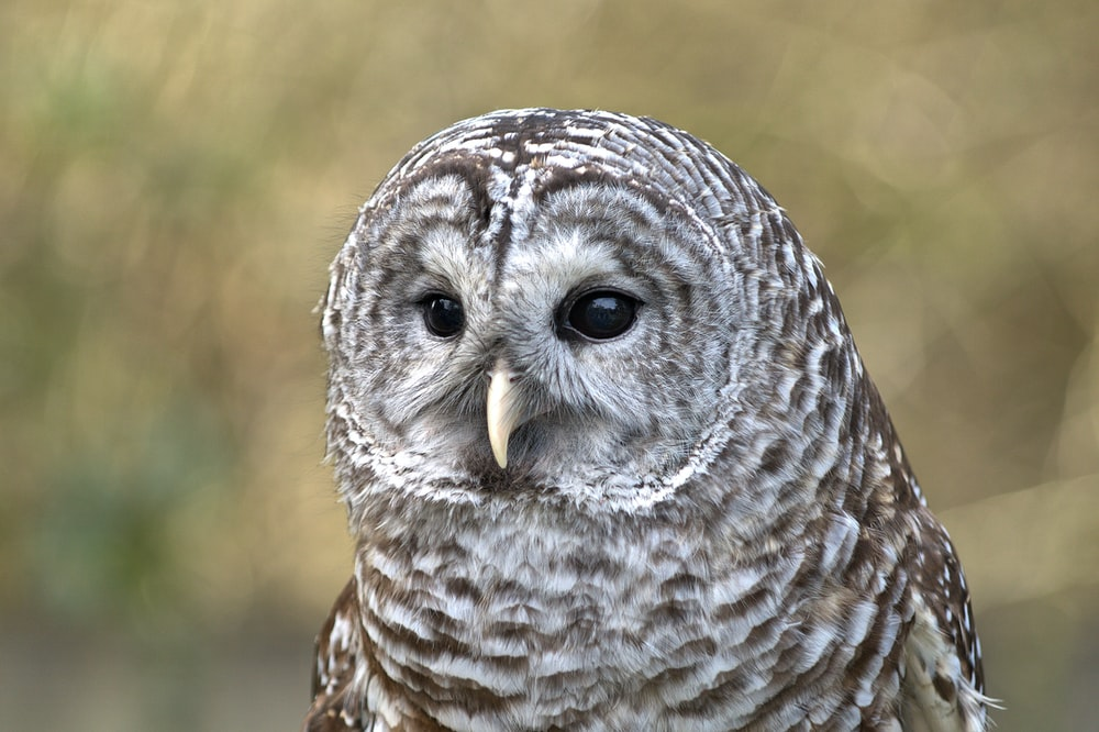 selective focus photograph of gray and brown owl