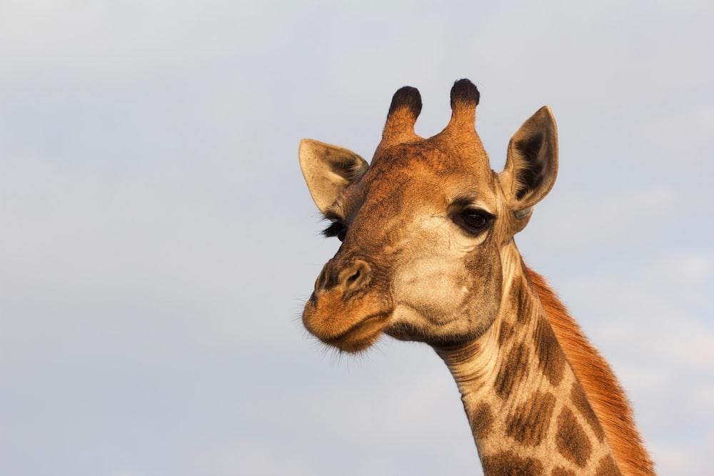 close-up photography of giraffe head