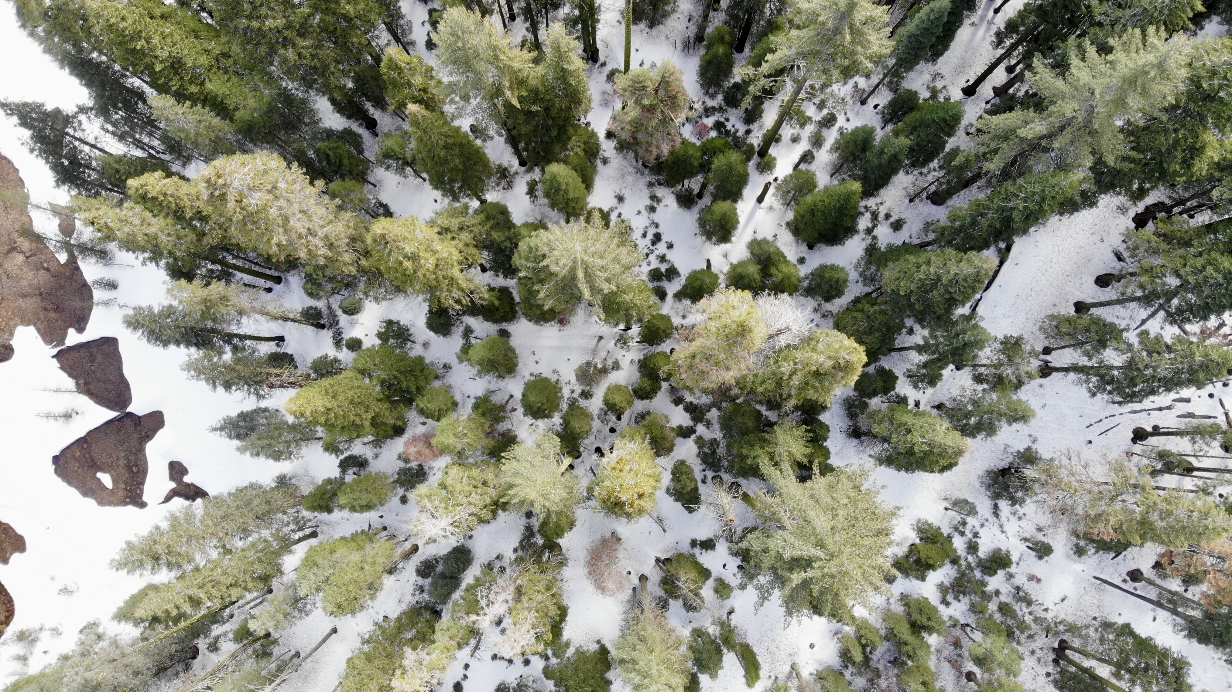 bird's eye view of tall trees on snow coated ground