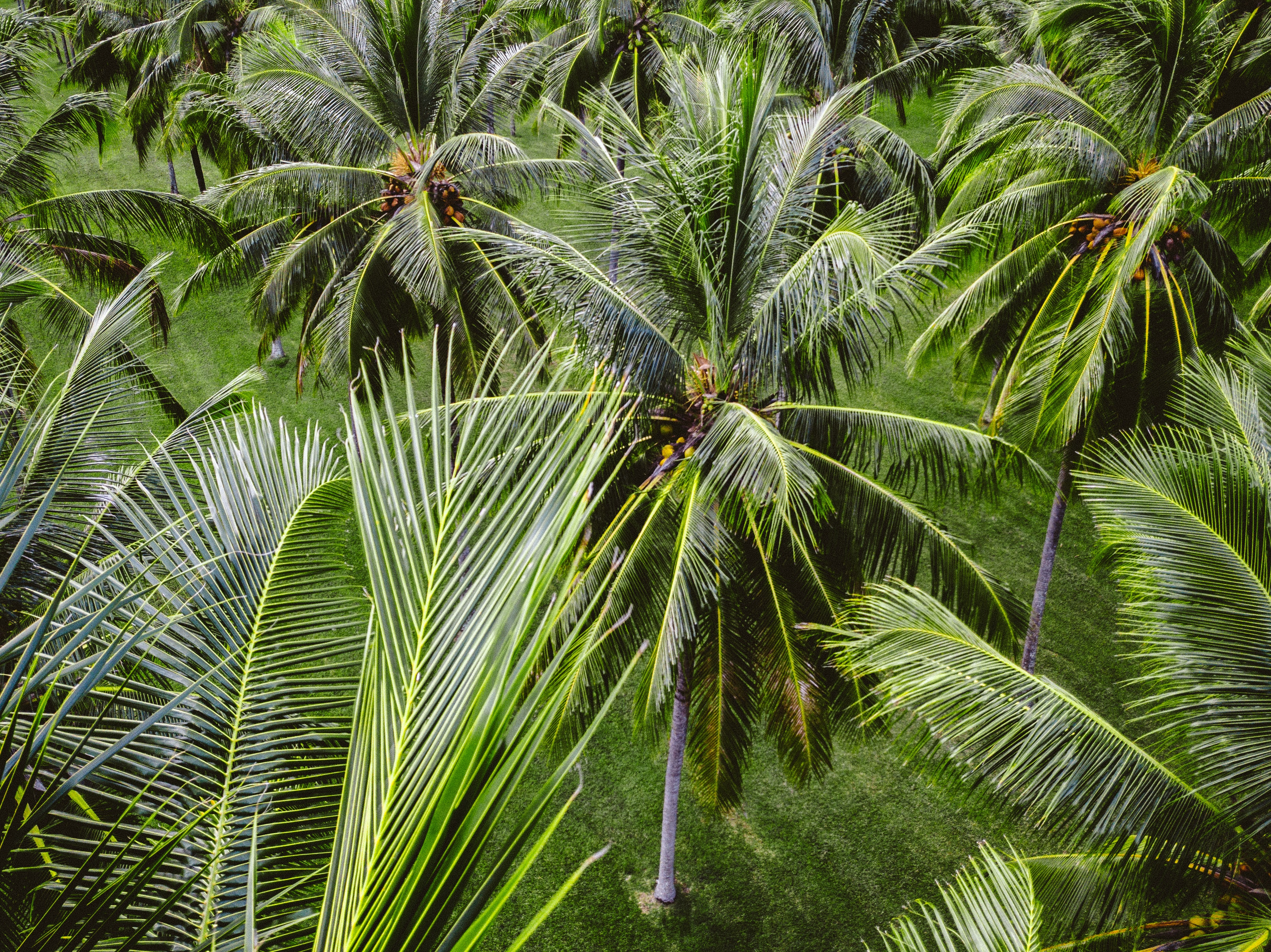 row of coconut trees