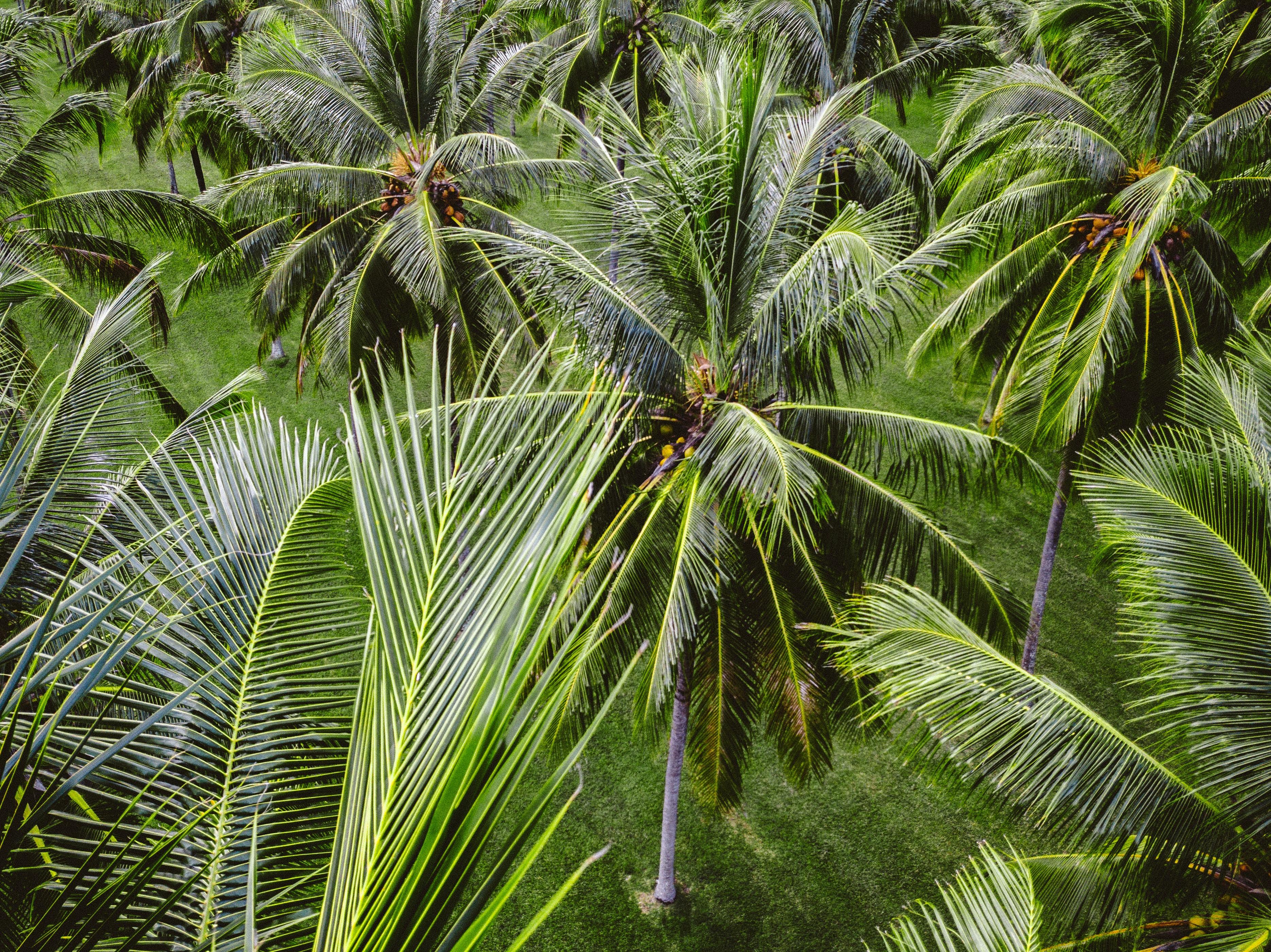 row of coconut trees