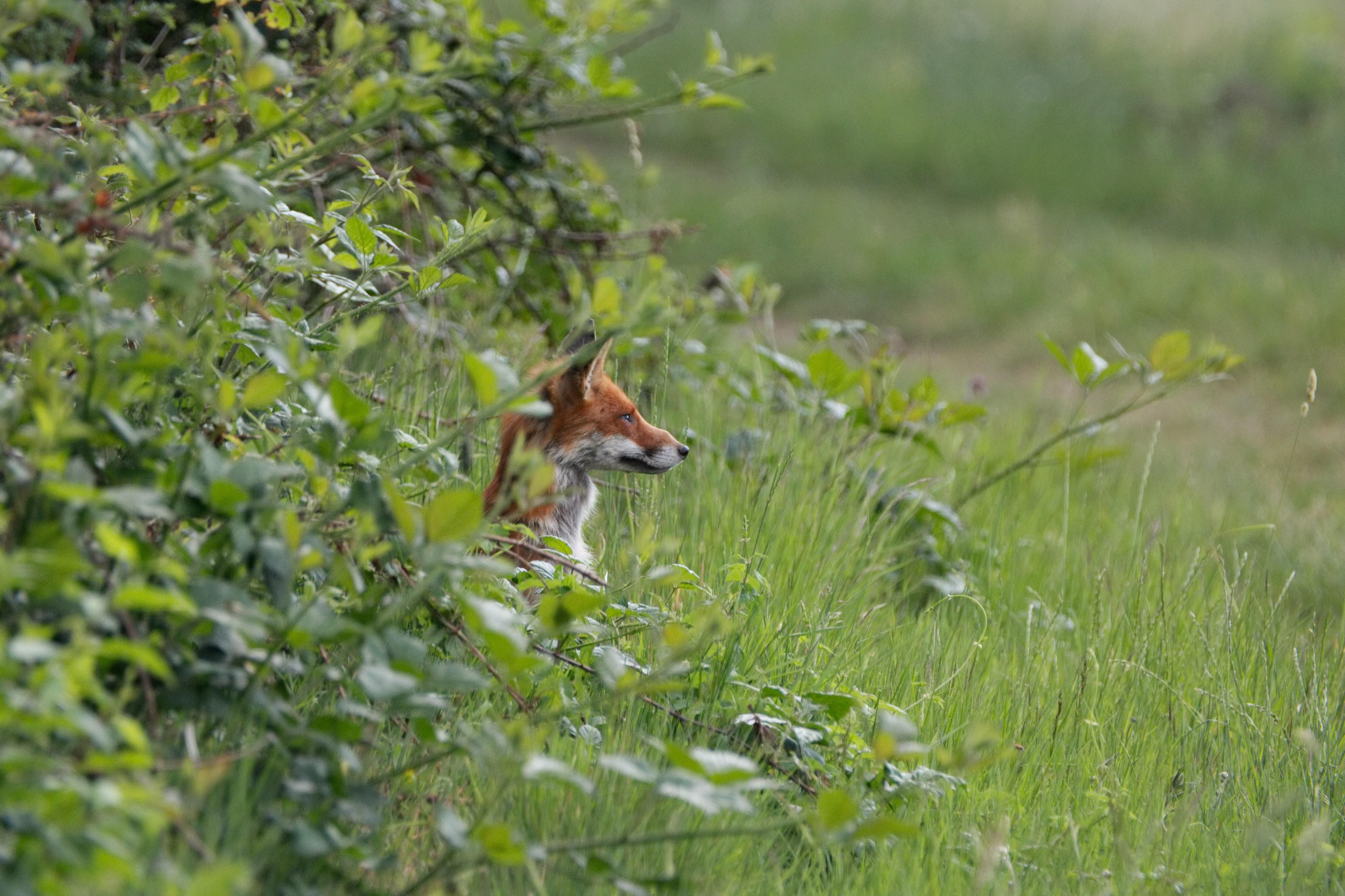 closeup photo of brown dog lying on green tall grass