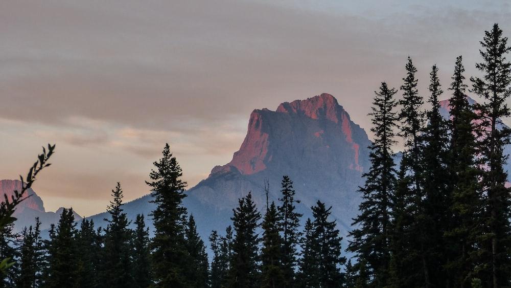 pine tree and mountain