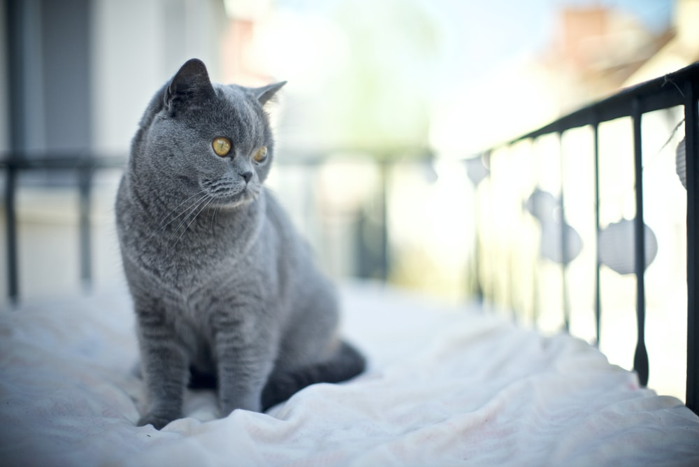 blue cat on bed
