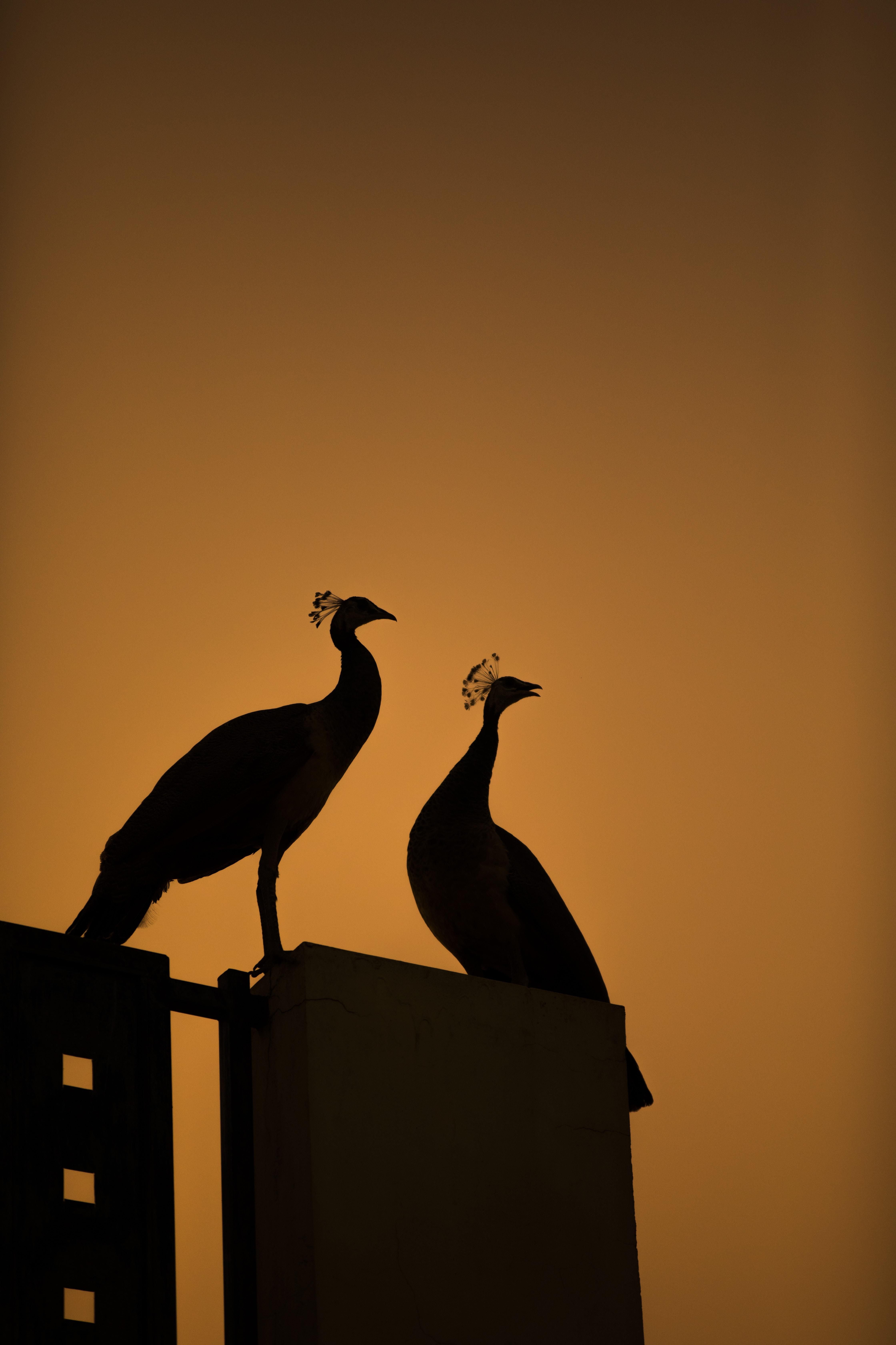 two peacocks shadow illustrations