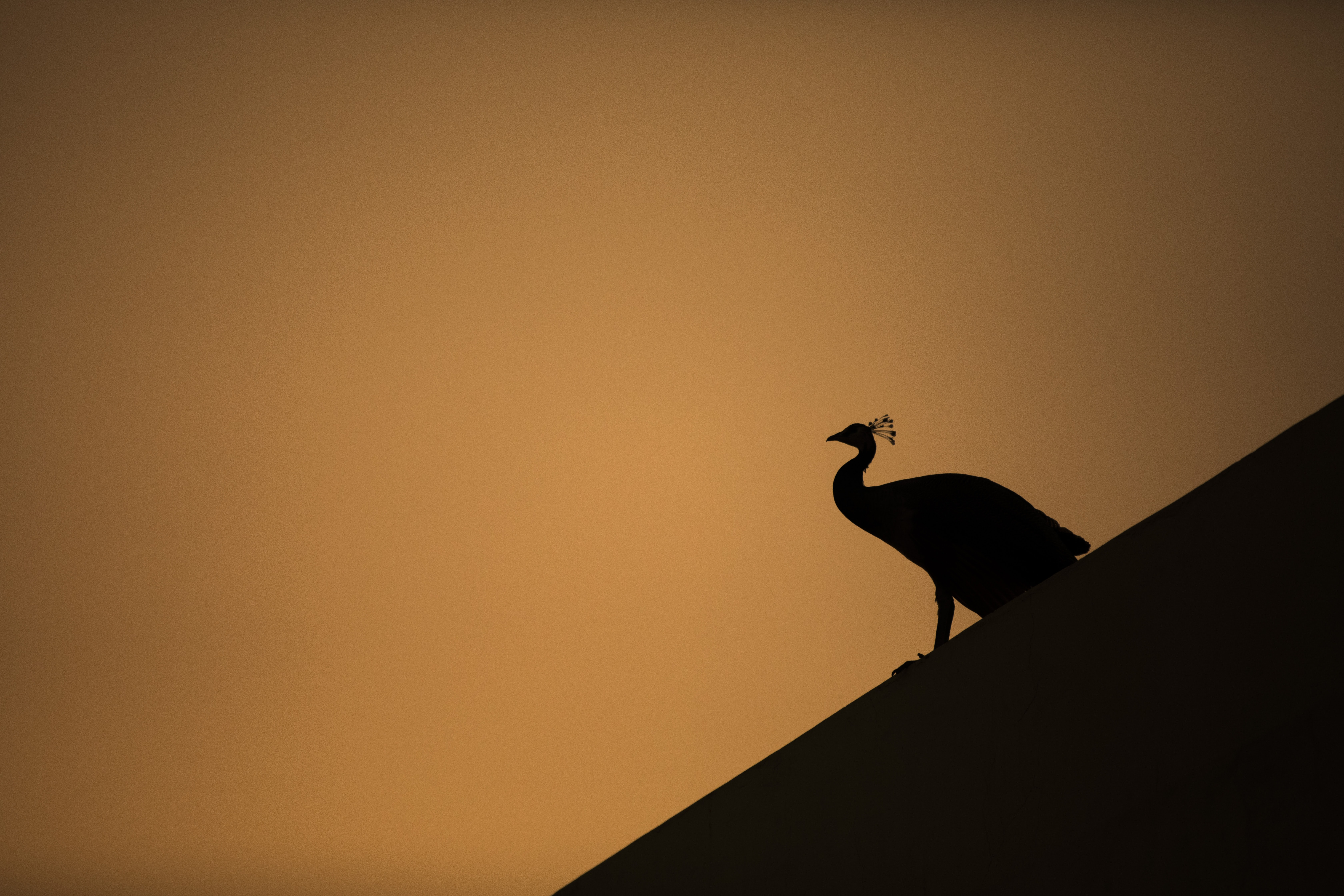 silhouette of peacock