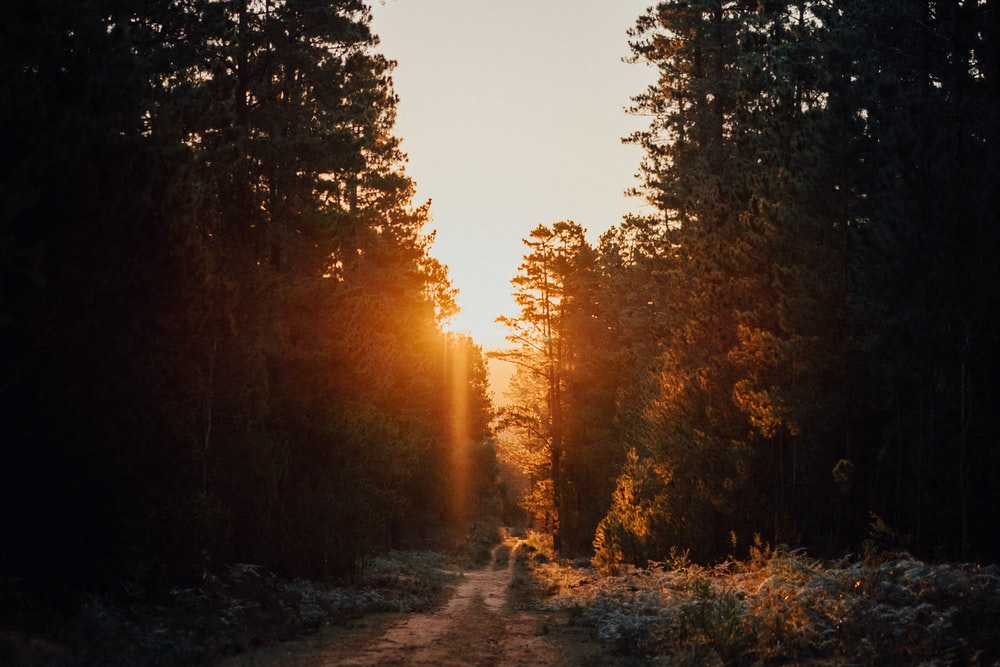 pathway in between trees
