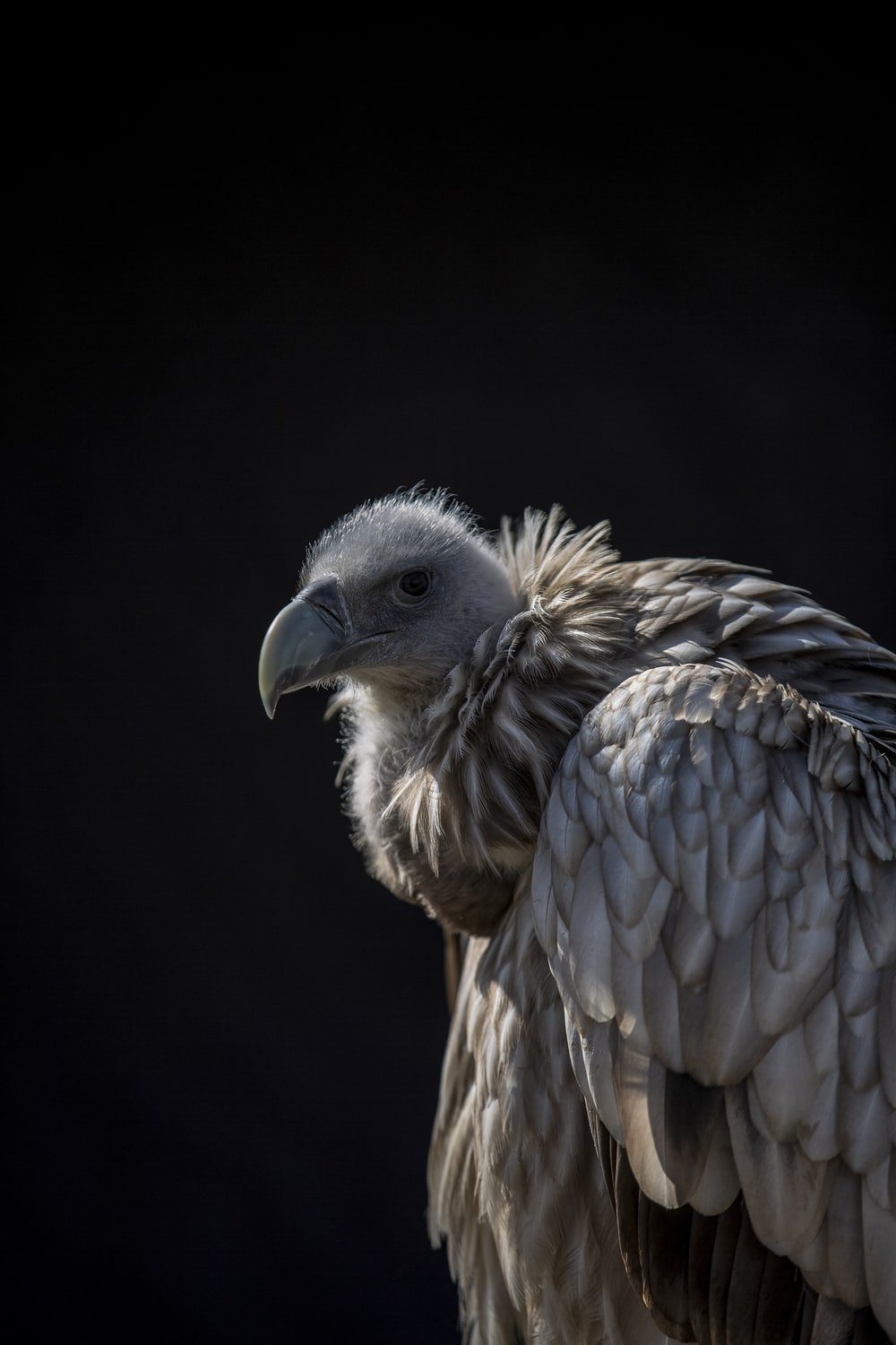 brown vulture in black background