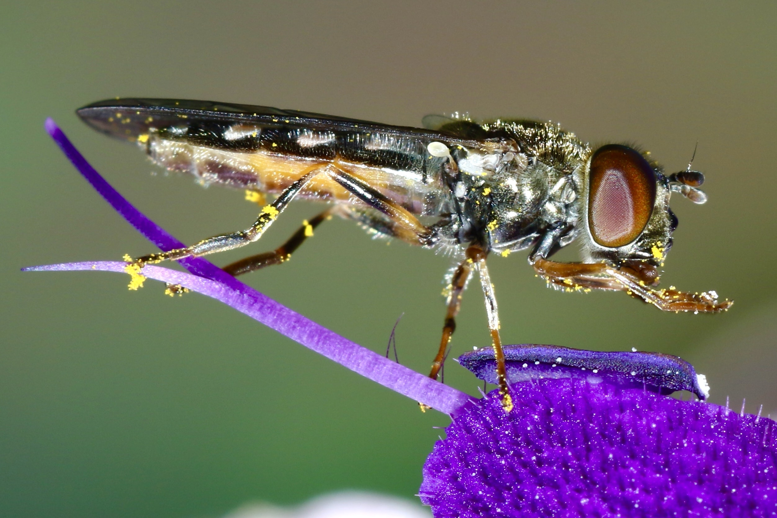 macro photography of black and brown fly
