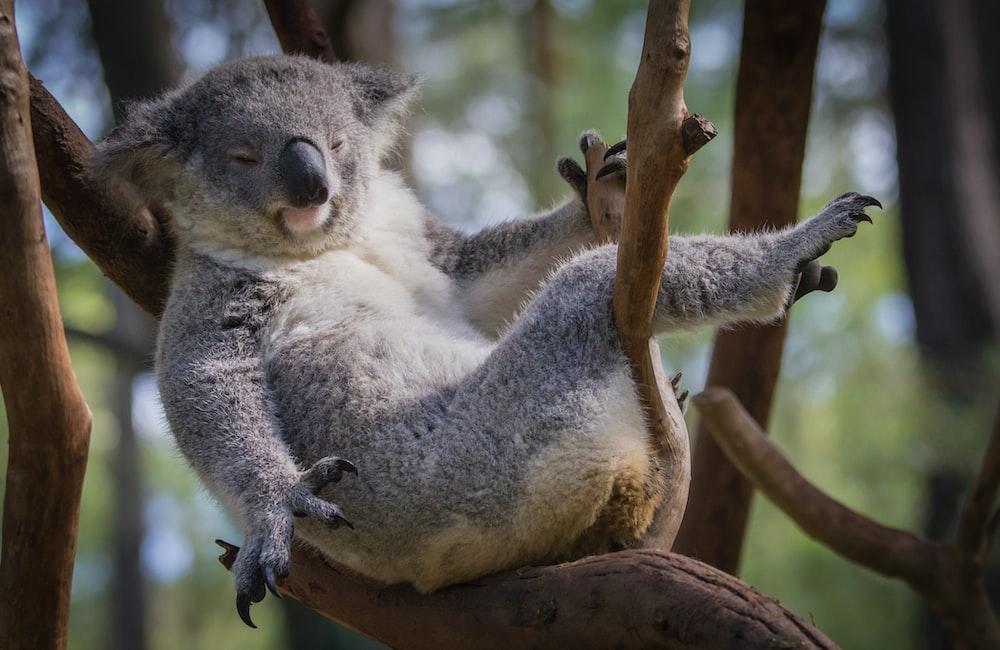 gray koala bear sitting on tree branch during daytime