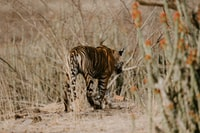 Tiger prowling in the wild