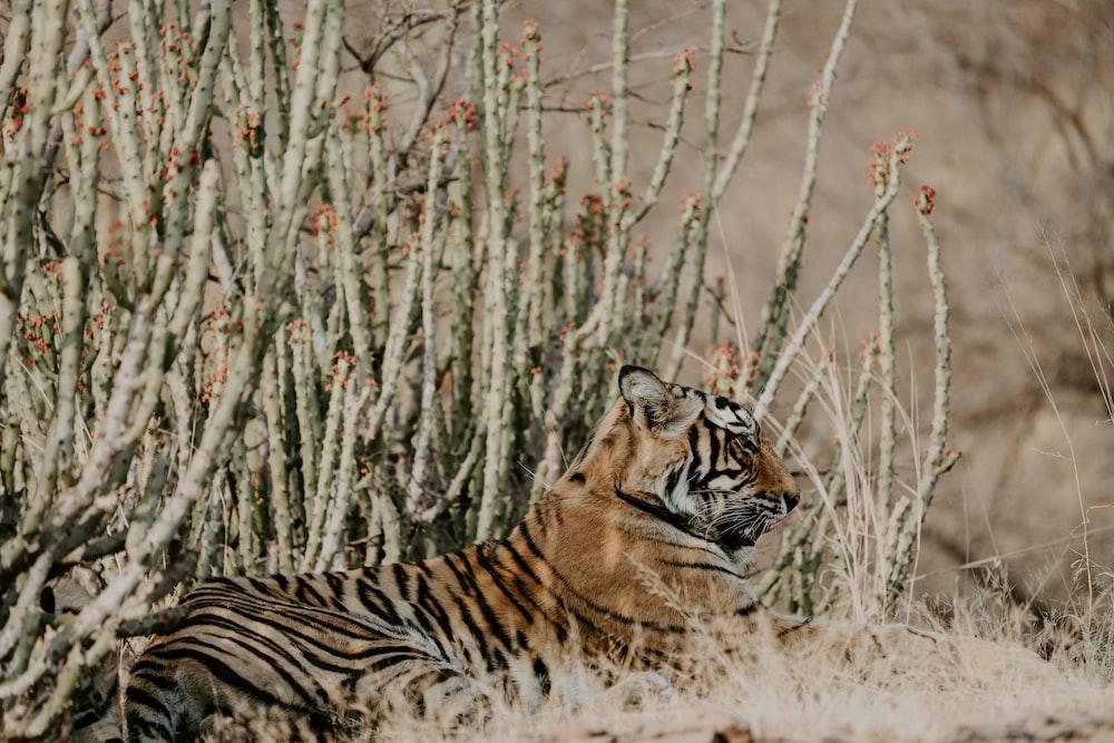 bengal tiger laying on grass