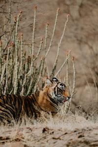bengal tiger near flower