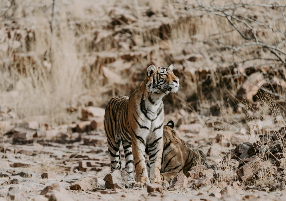 two orange-and-white tigers on ground