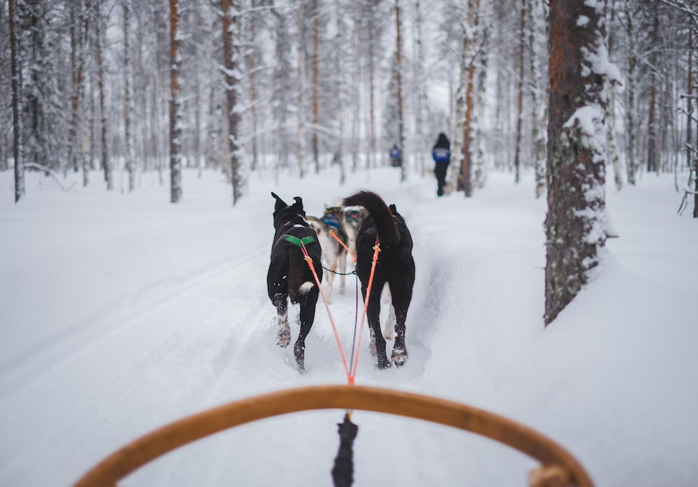 two animals carrying carriage on snow covered field