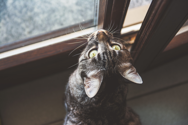 silver tabby cat beside window