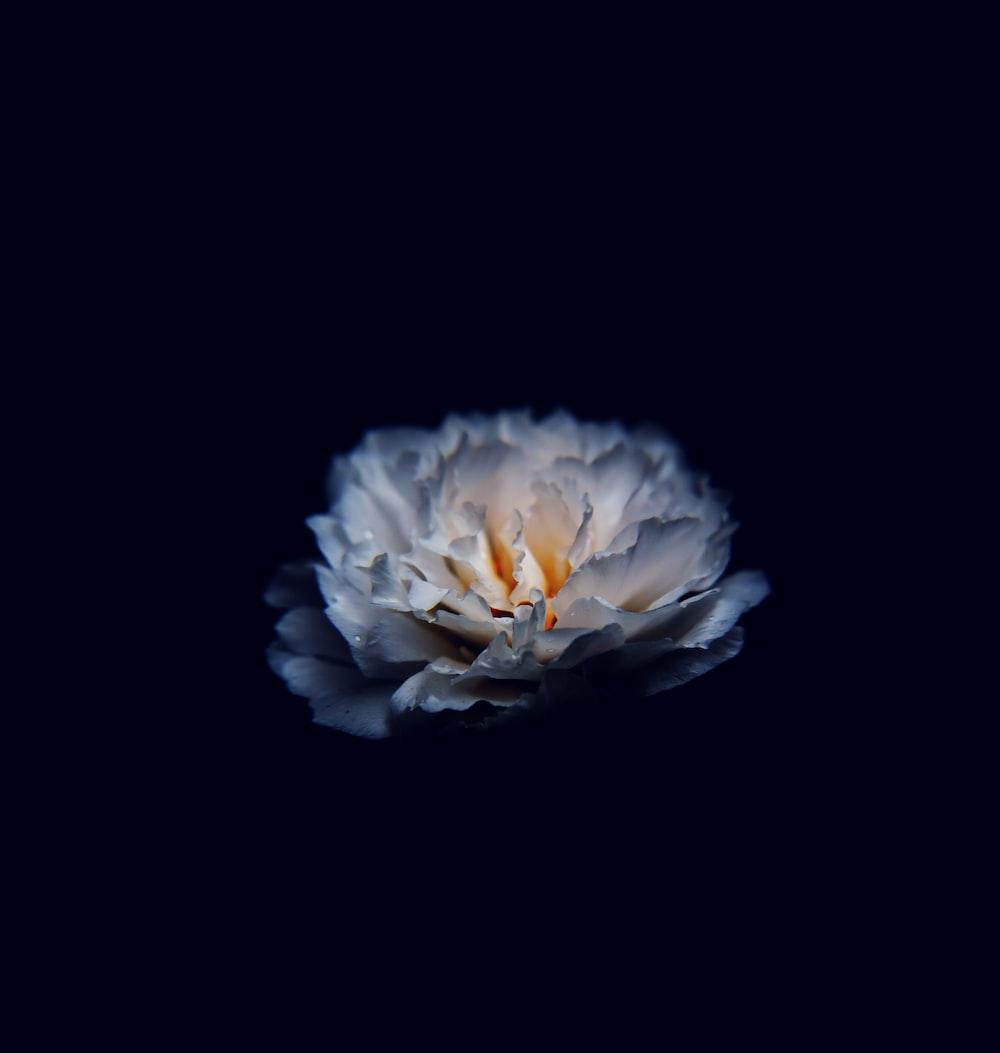 Flowers with Black Background | 99 best free black, flower ...