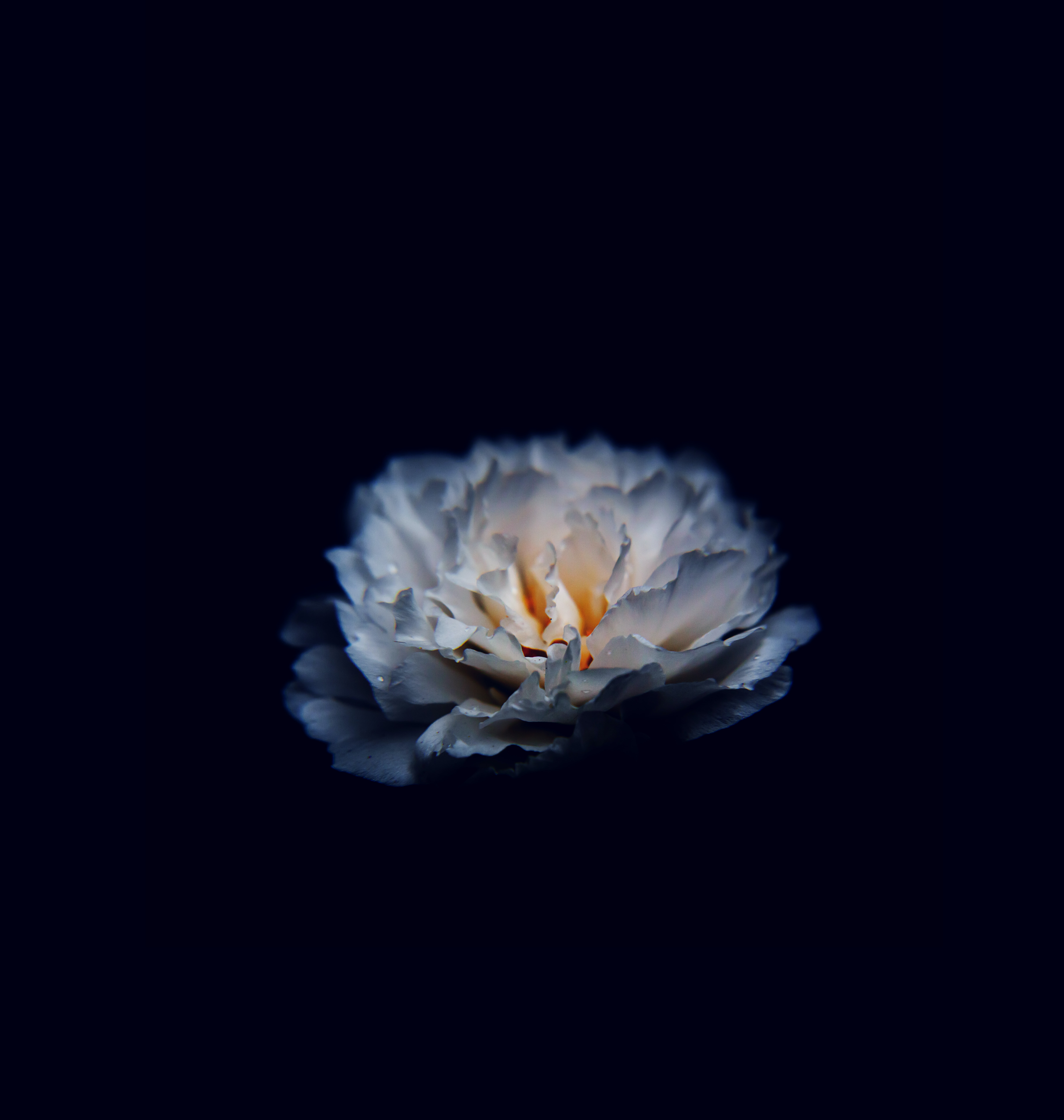 white carnation flower in black background