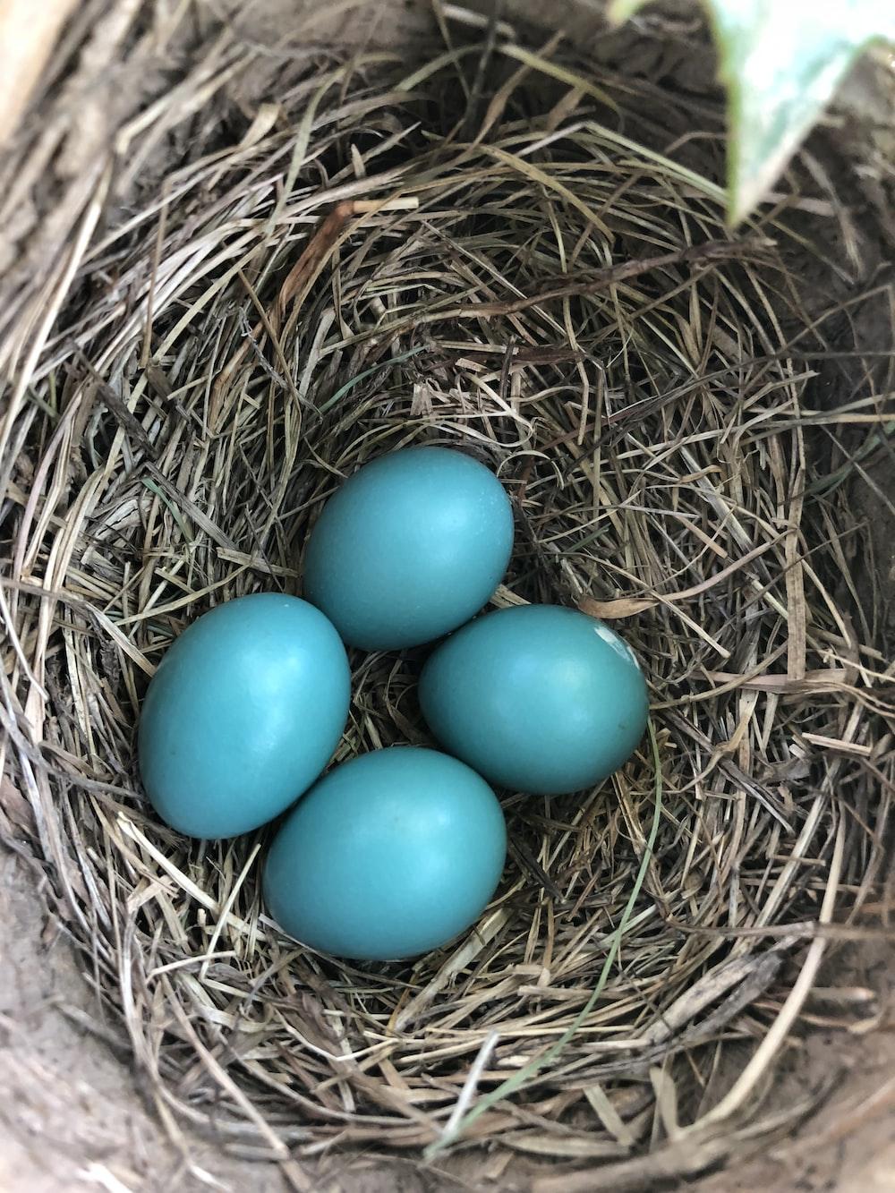 four blue eggs on nest