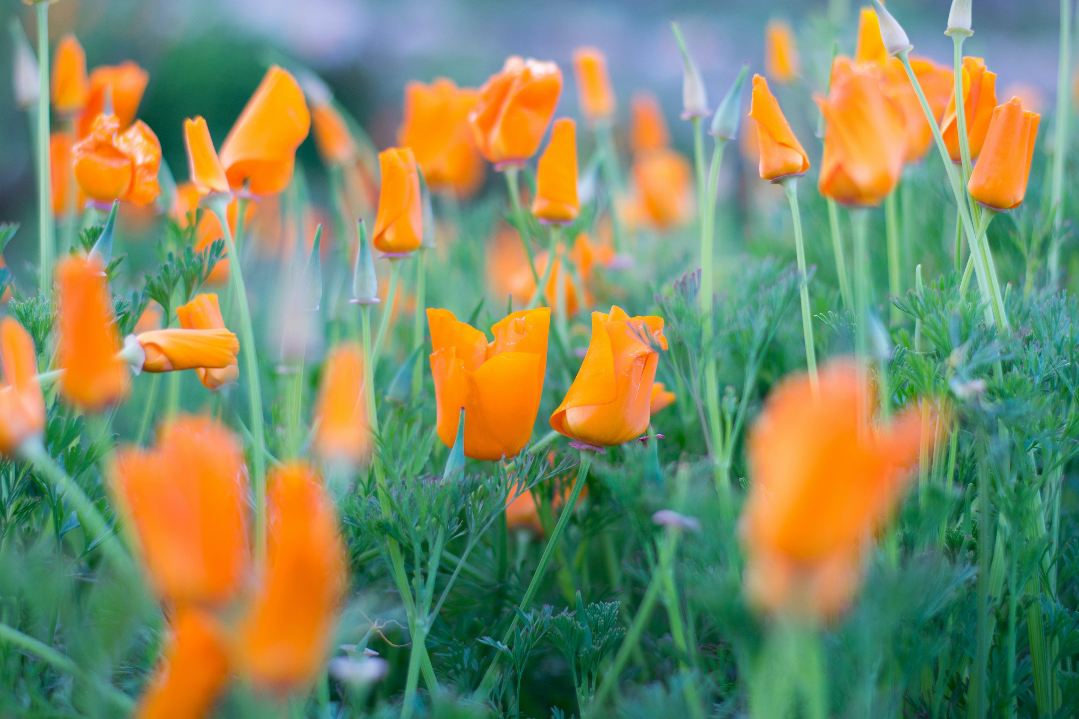 shallow focus photography of orange tulips