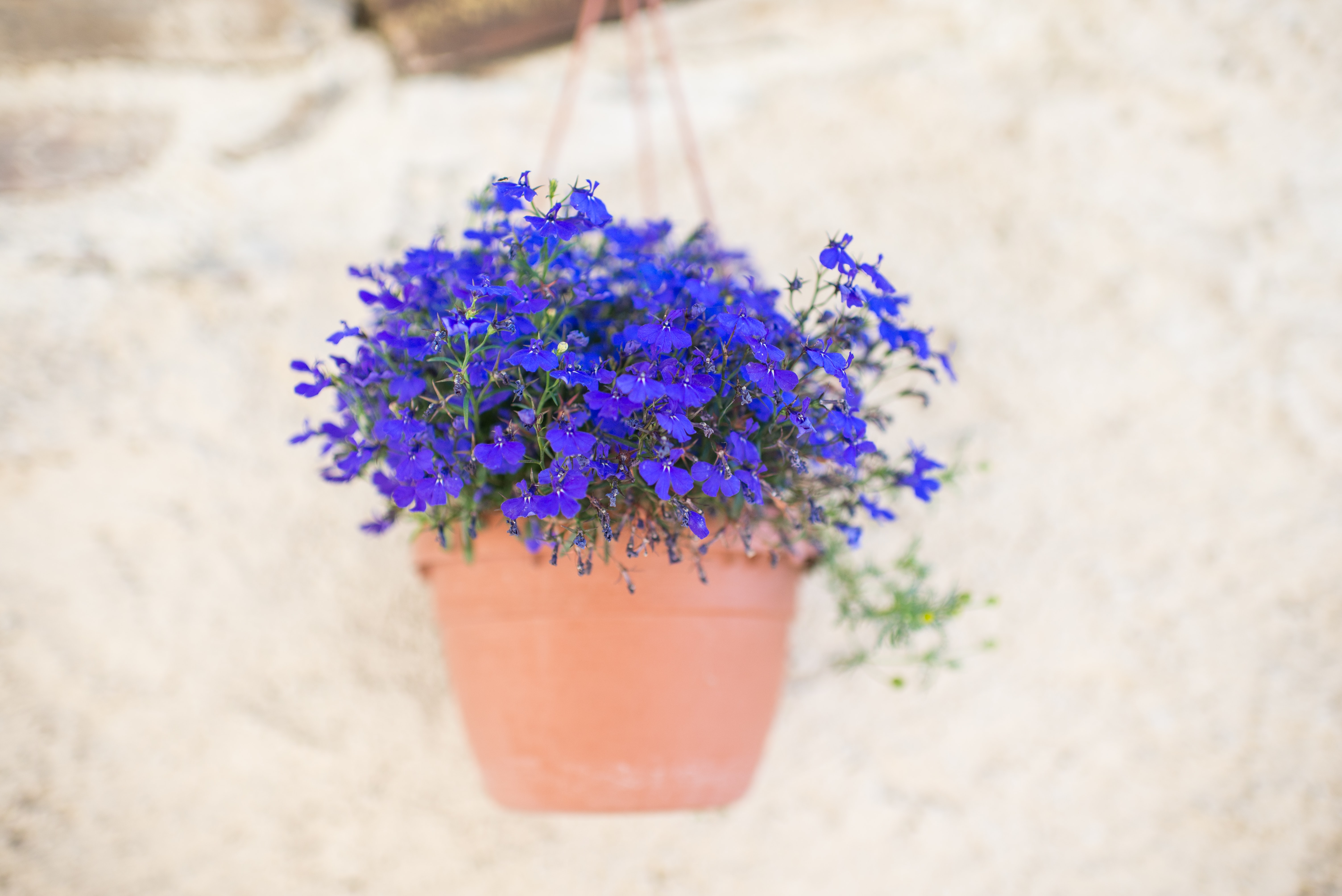purple petaled flower with pot hang on wall