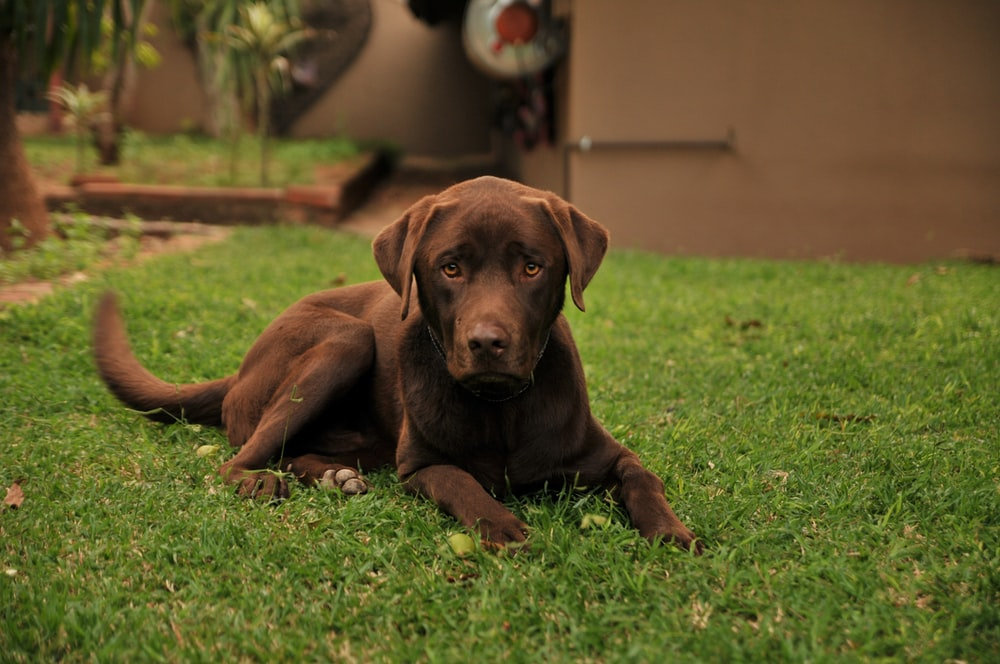 chocolate Labrador retriever puppy lying on green lawn during daytime