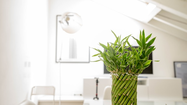 green lucky bamboo plant