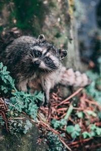 raccoon beside tree trunk