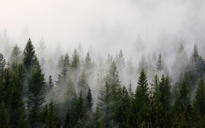 green pine trees with fog pacific northwest zoom background