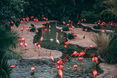 wildlife photography flock of flamingo zoo teams background