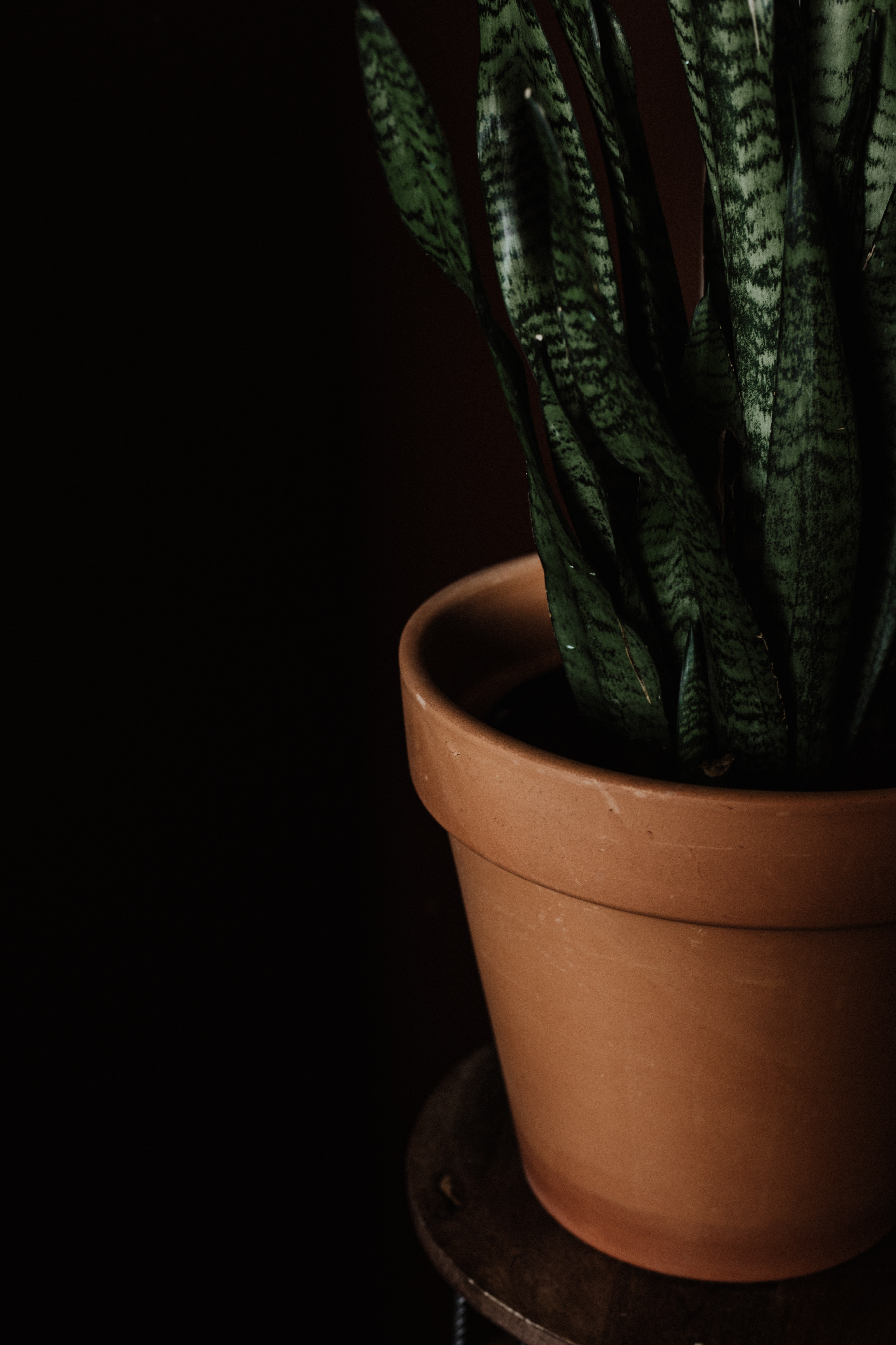 snake plant in brown clay pot