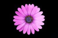top view photo of purple daisy