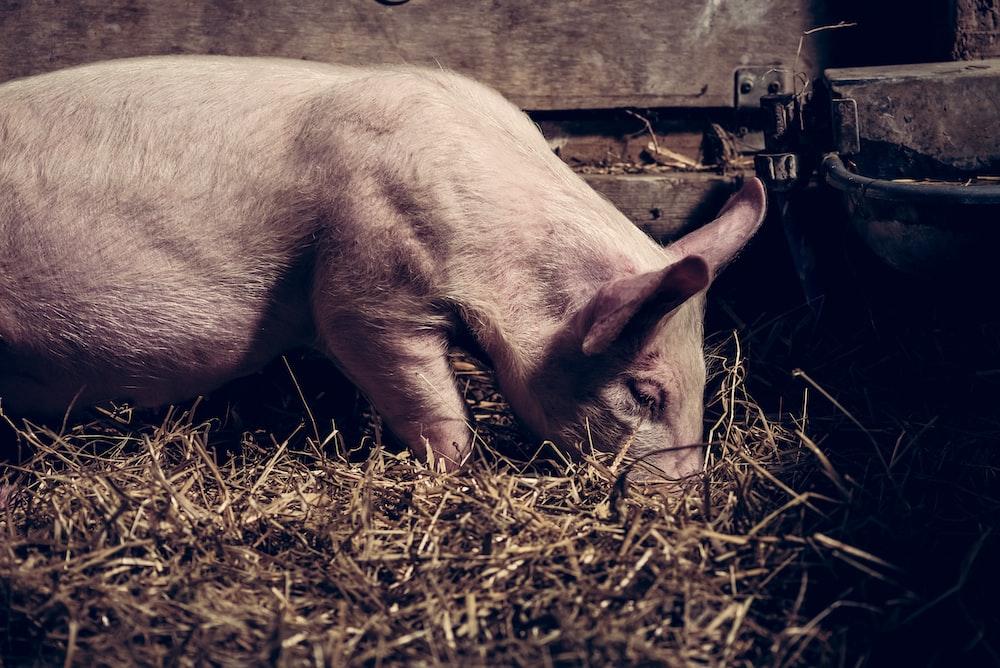 white pig on barn