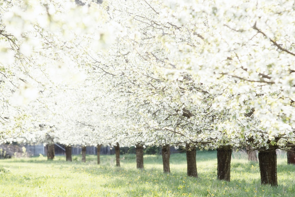 row of white petaled trees