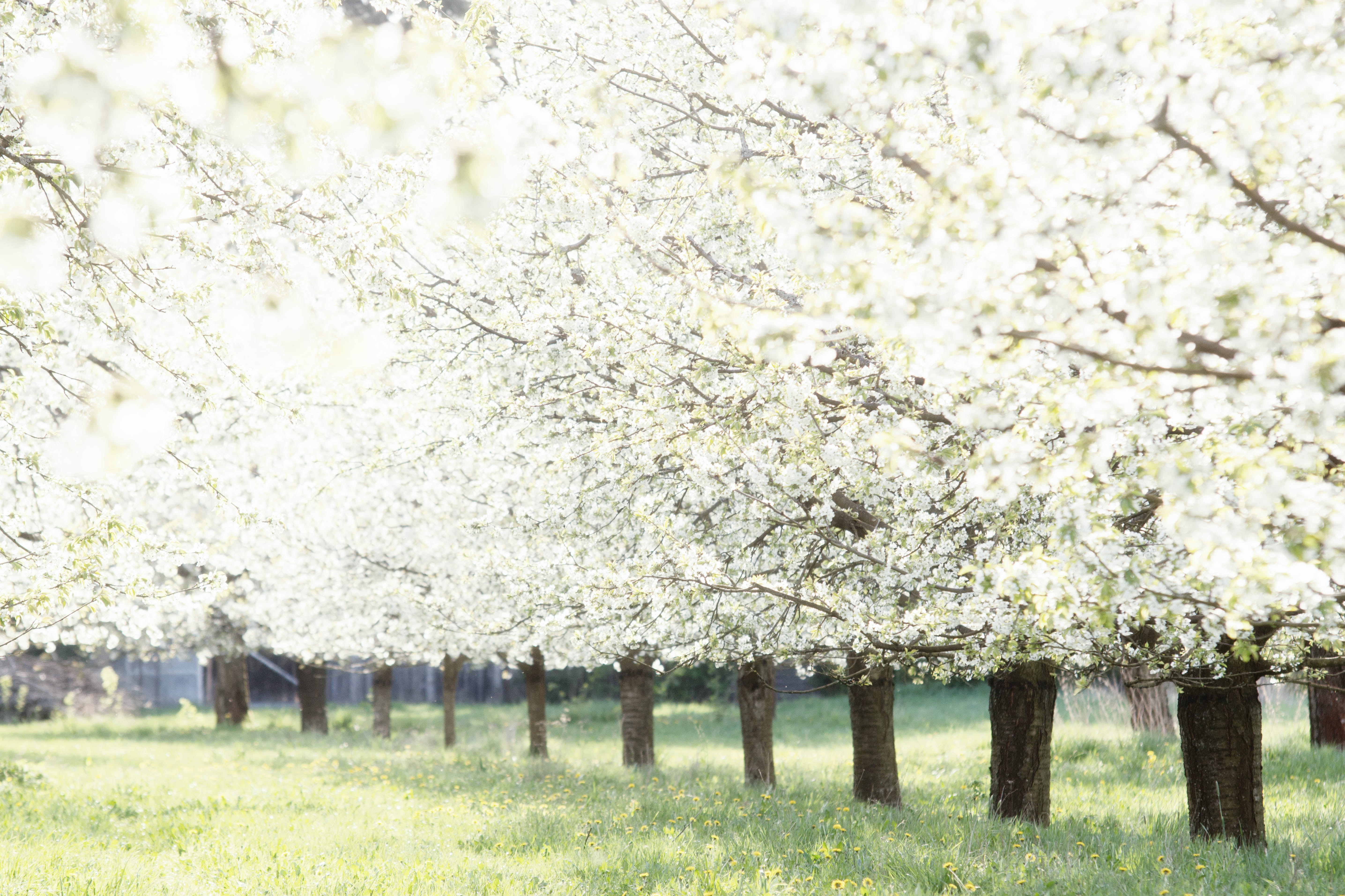 row of white petaled trees