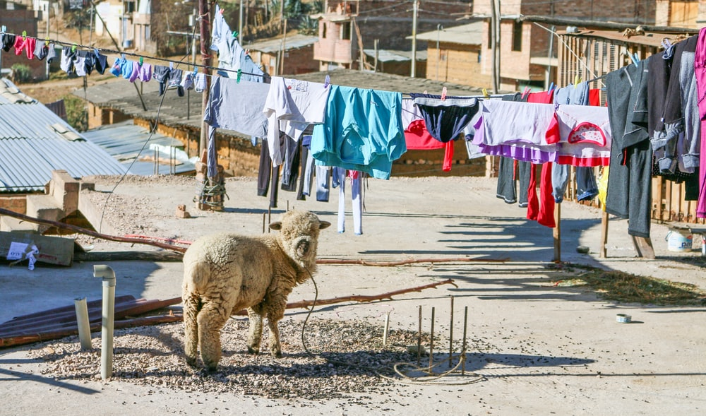 beige sheep near hang clothes and houses at daytime