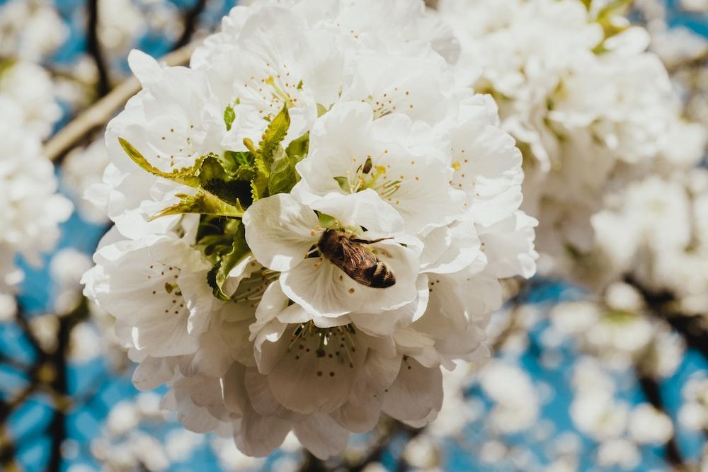 brown bee on white petaled flower