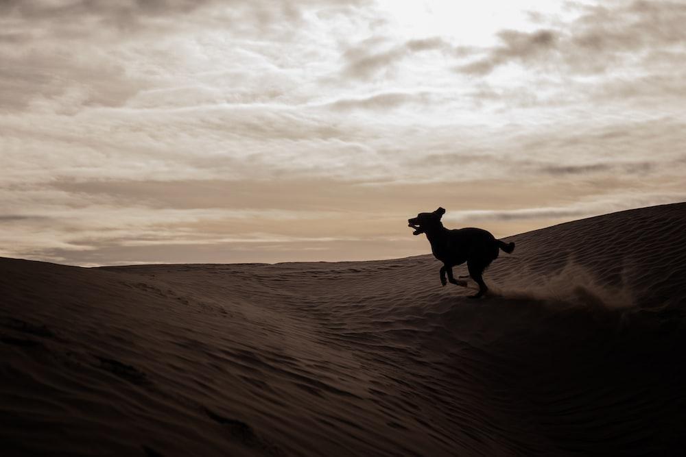 silhouette of dog on desert
