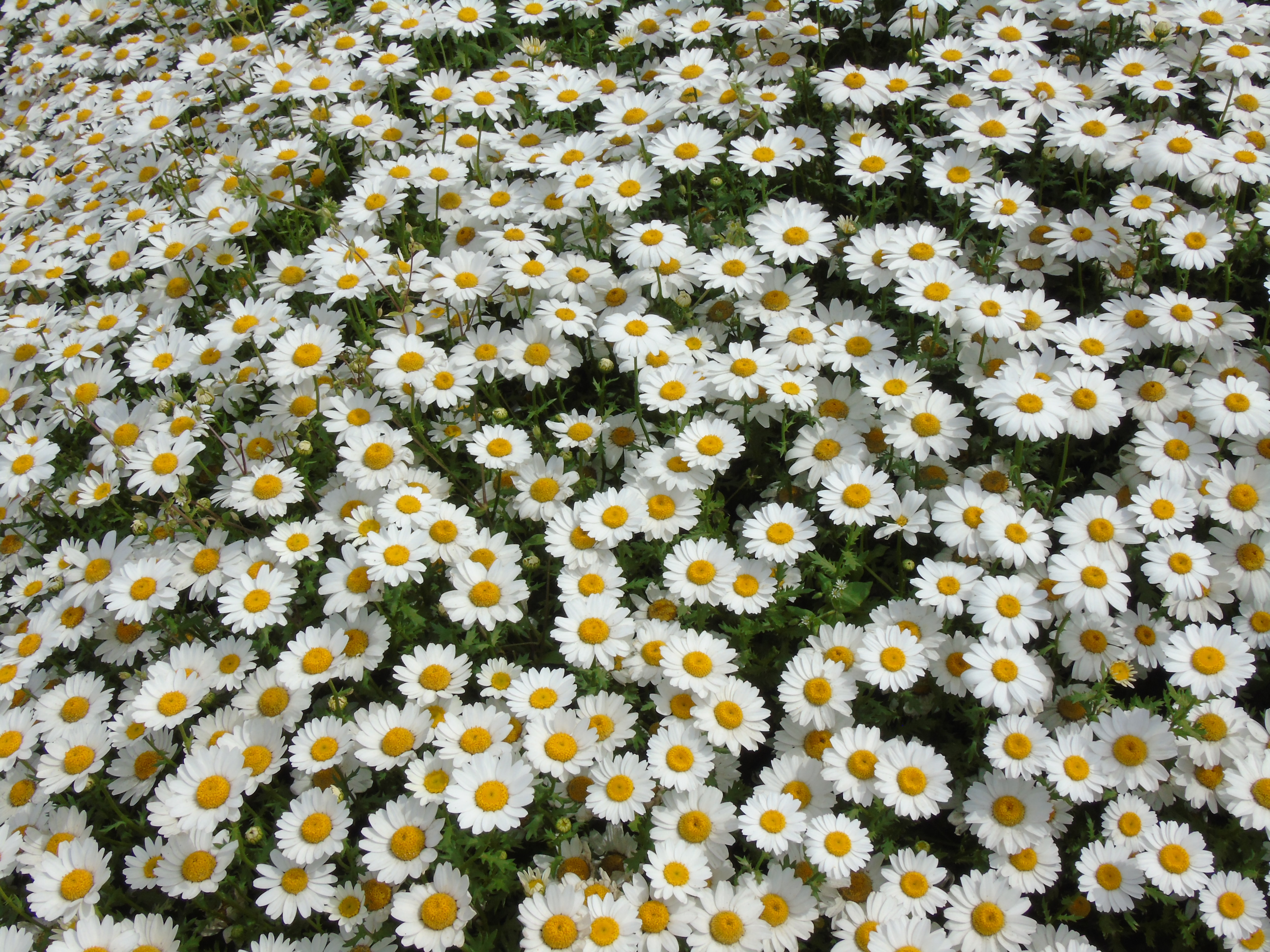 photo of bed of daisy