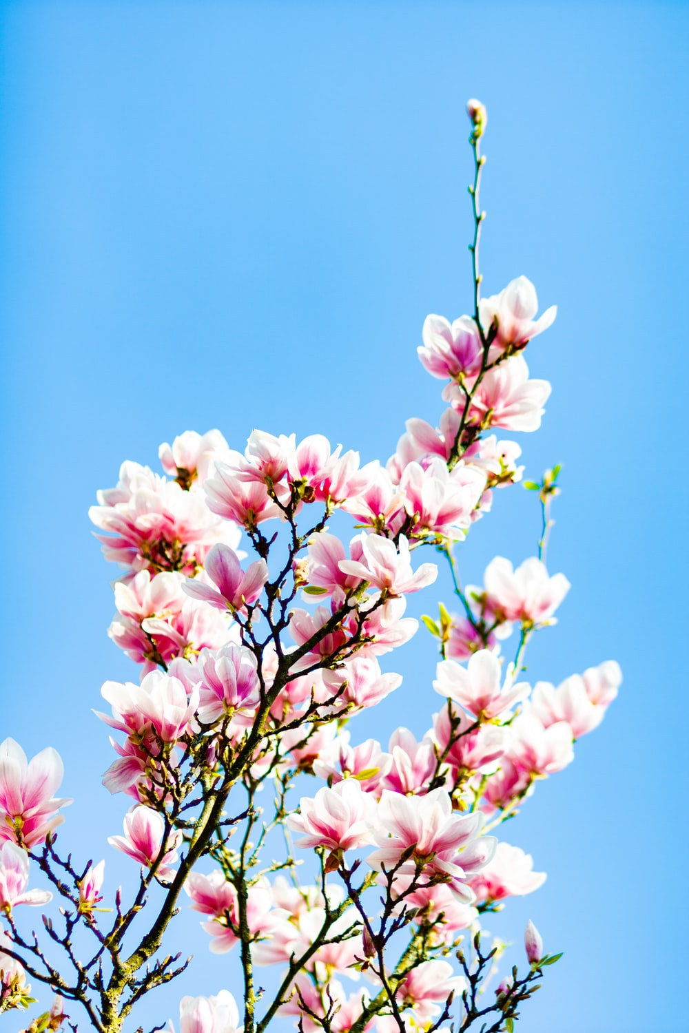 Magnolia tree pictures download free images on unsplash white and pink petaled flowers mightylinksfo