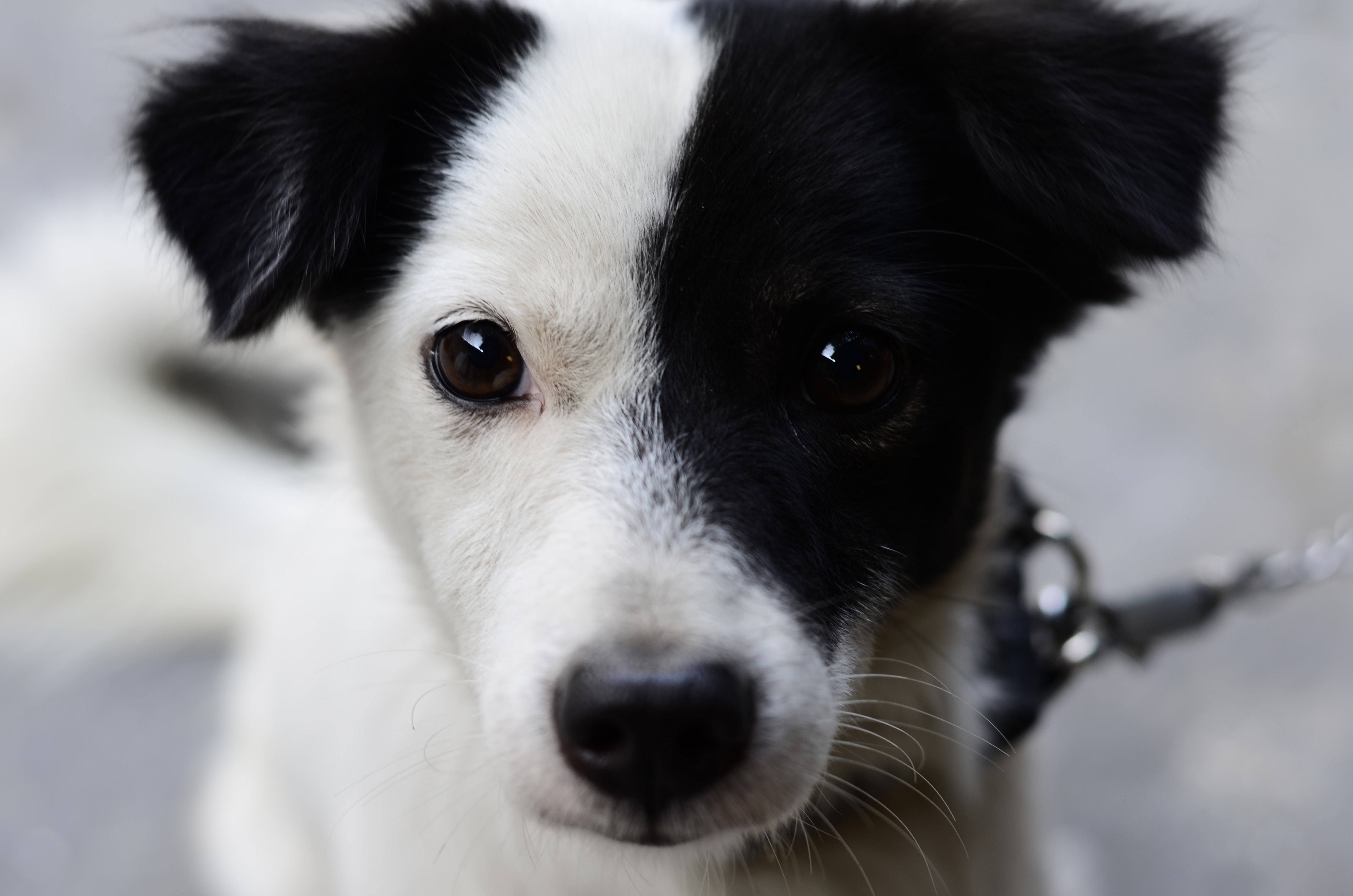 white and black border collie puppy