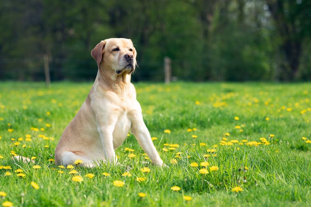 short-coated tan dog sitting on yellow petaled flower field