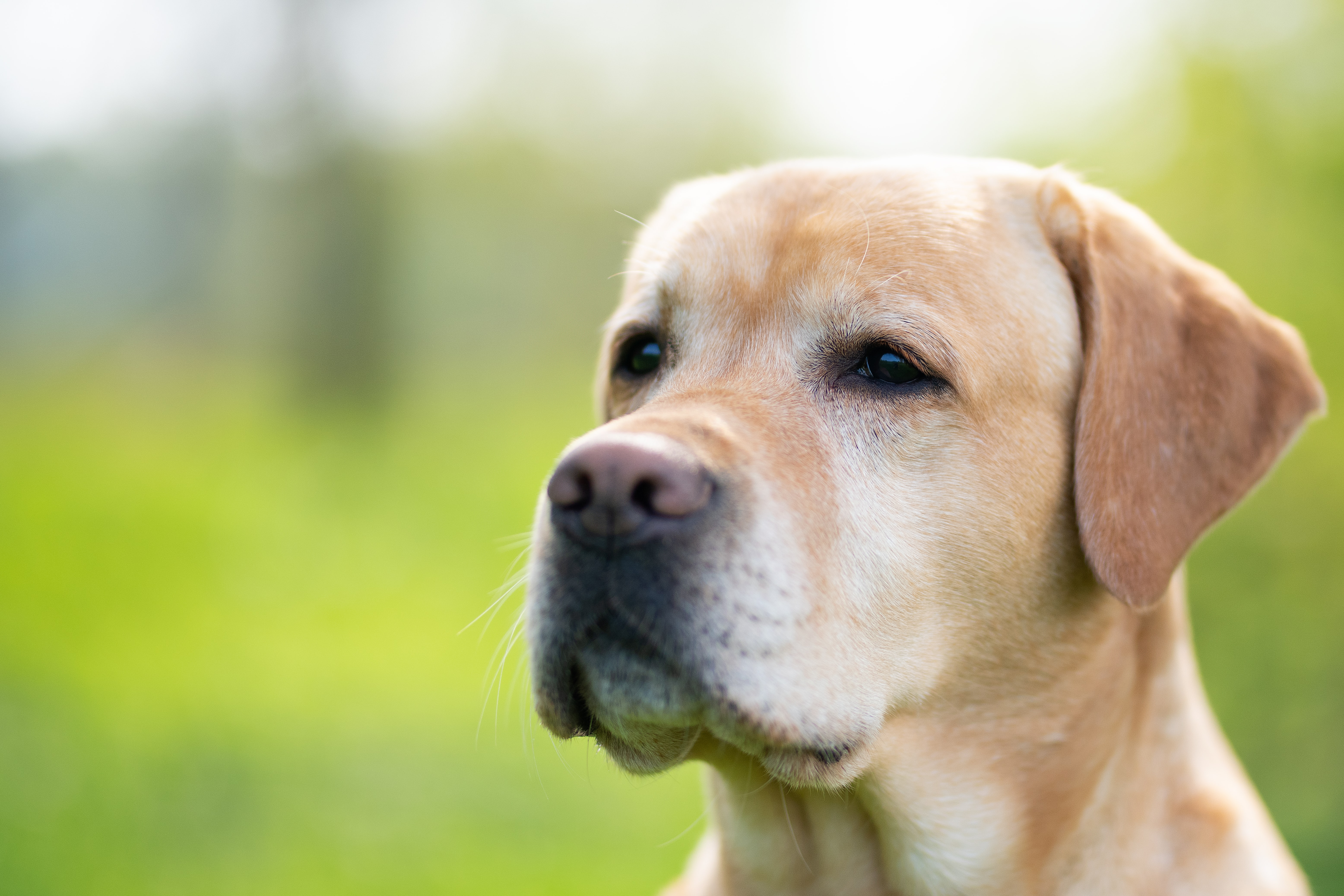 shallow focus photography of short-coated brown dog