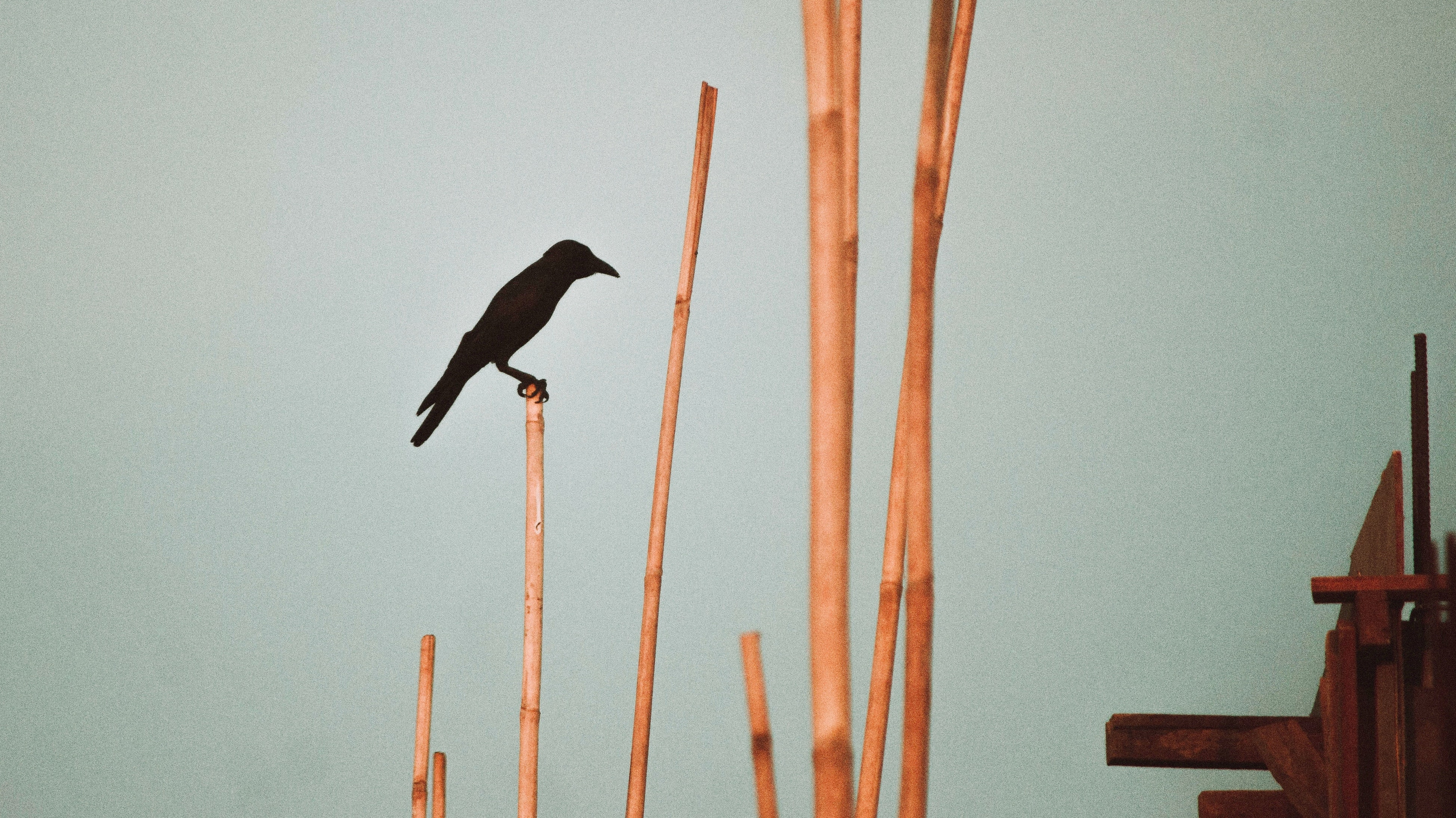 crow perching on bamboo stick