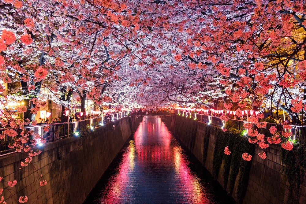 canal between cherry blossom trees