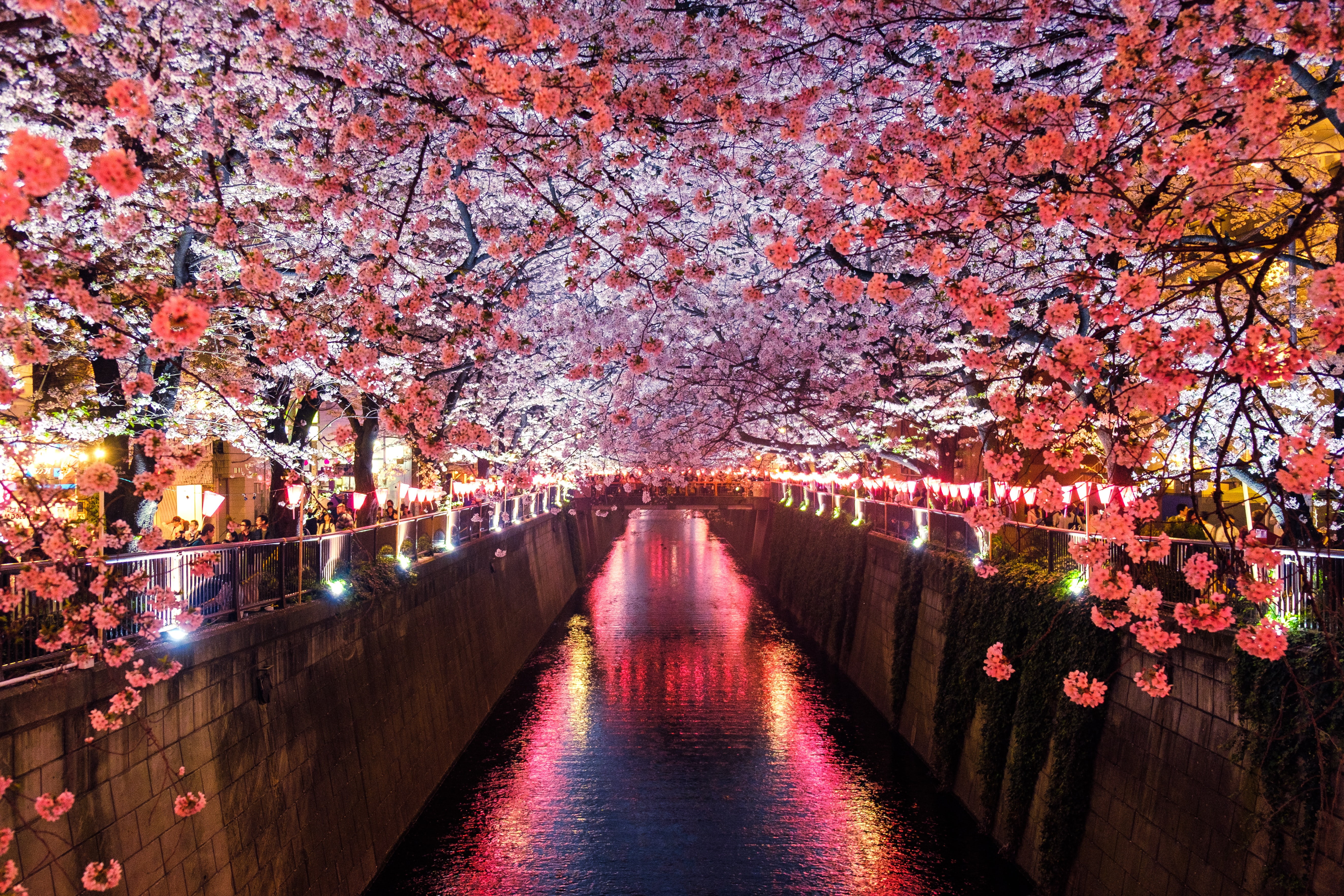 The cherry blossoms in full bloom during a Japanese spring. This is in Naka Meguro, Tokyo.